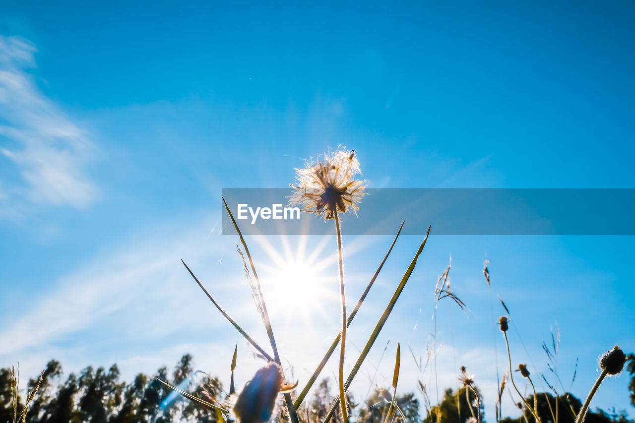 plant, sky, flower, flowering plant, growth, low angle view, beauty in nature, freshness, fragility, nature, vulnerability, cloud - sky, day, no people, blue, close-up, flower head, tranquility, inflorescence, dandelion, outdoors, dandelion seed, softness