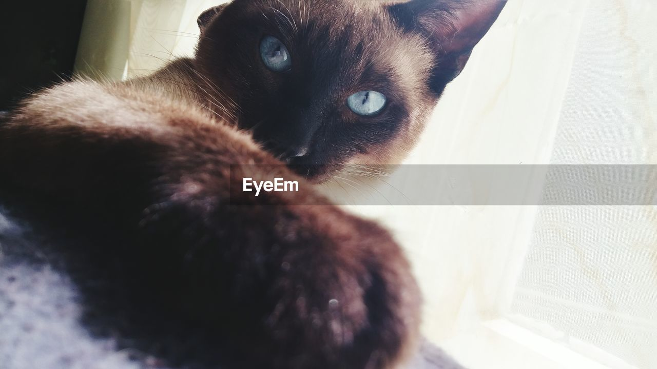 domestic cat, pets, domestic animals, feline, mammal, animal themes, one animal, indoors, cat, whisker, home interior, no people, siamese cat, day, close-up, portrait