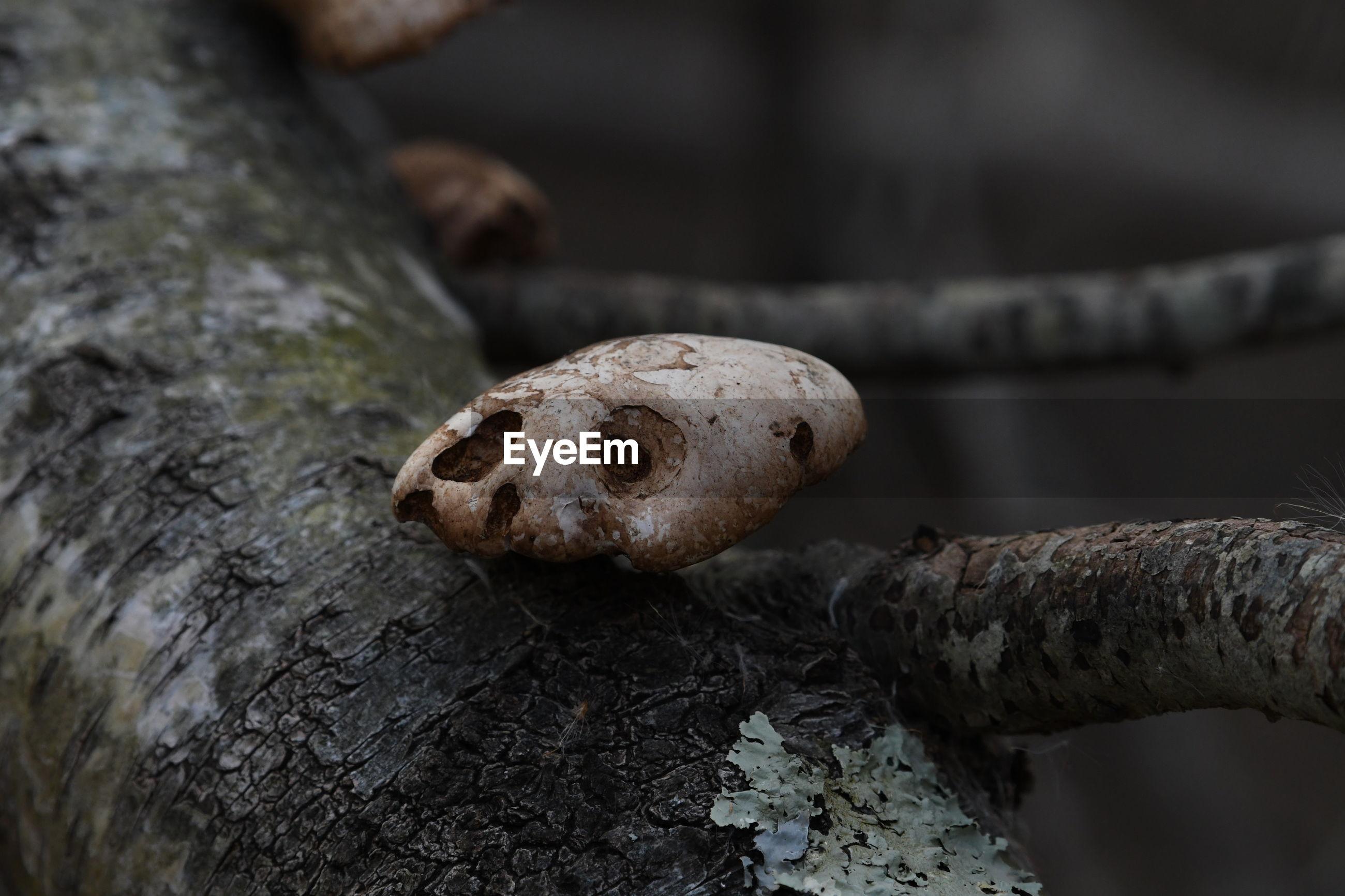 Close-up of mushroom on wood