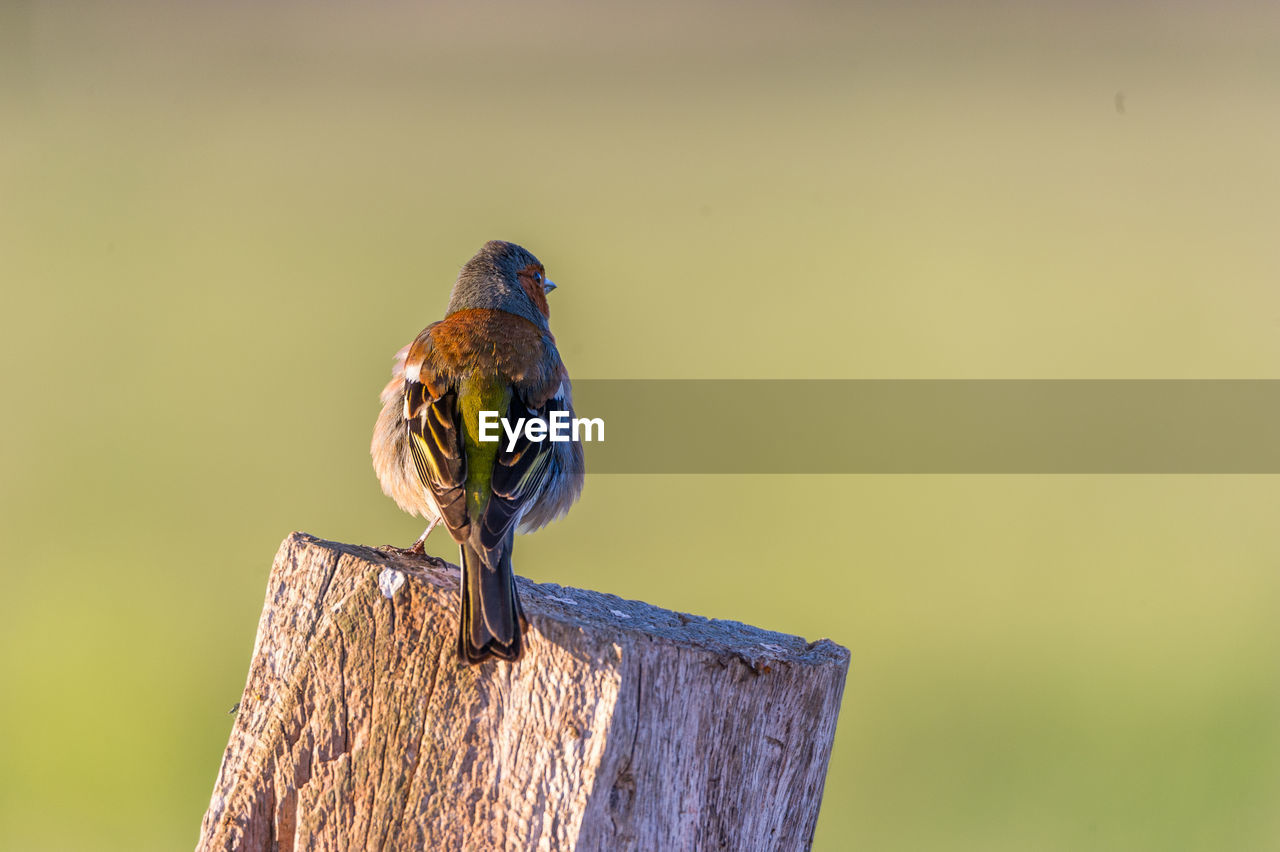 Close-Up Of Songbird Perching On Wooden Post