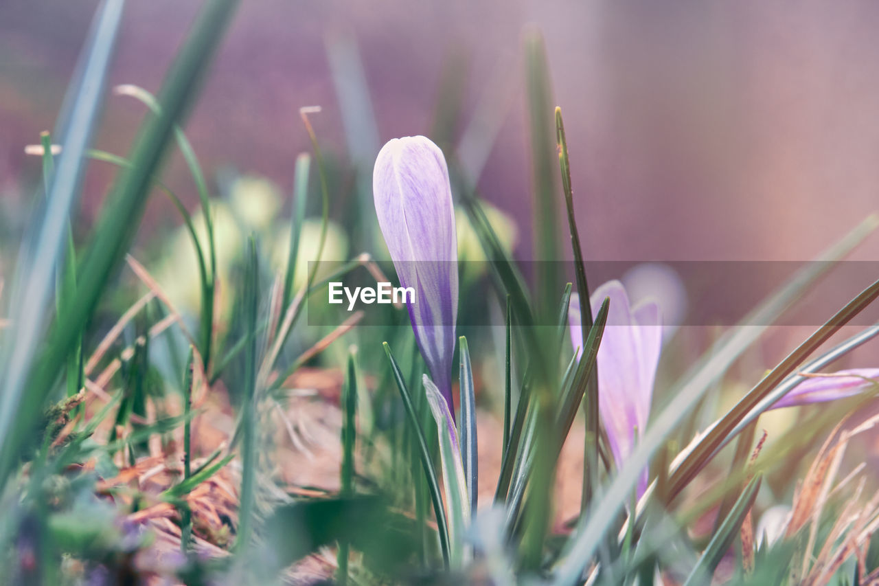 CLOSE-UP OF FRESH PURPLE CROCUS FLOWERS ON FIELD
