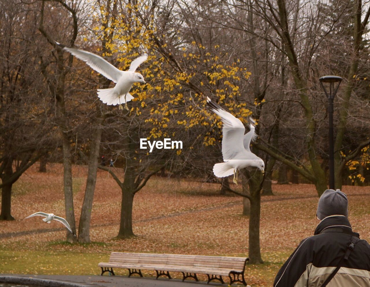 Seagulls over man against trees during autumn