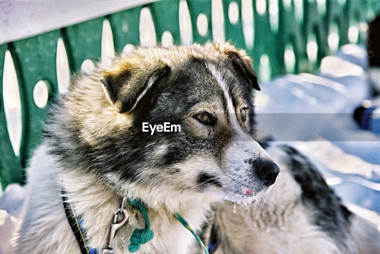 one animal, animal themes, animal, mammal, canine, pets, dog, domestic animals, domestic, vertebrate, focus on foreground, close-up, day, looking, no people, looking away, animal head, sled dog, outdoors, animal body part, whisker, snout