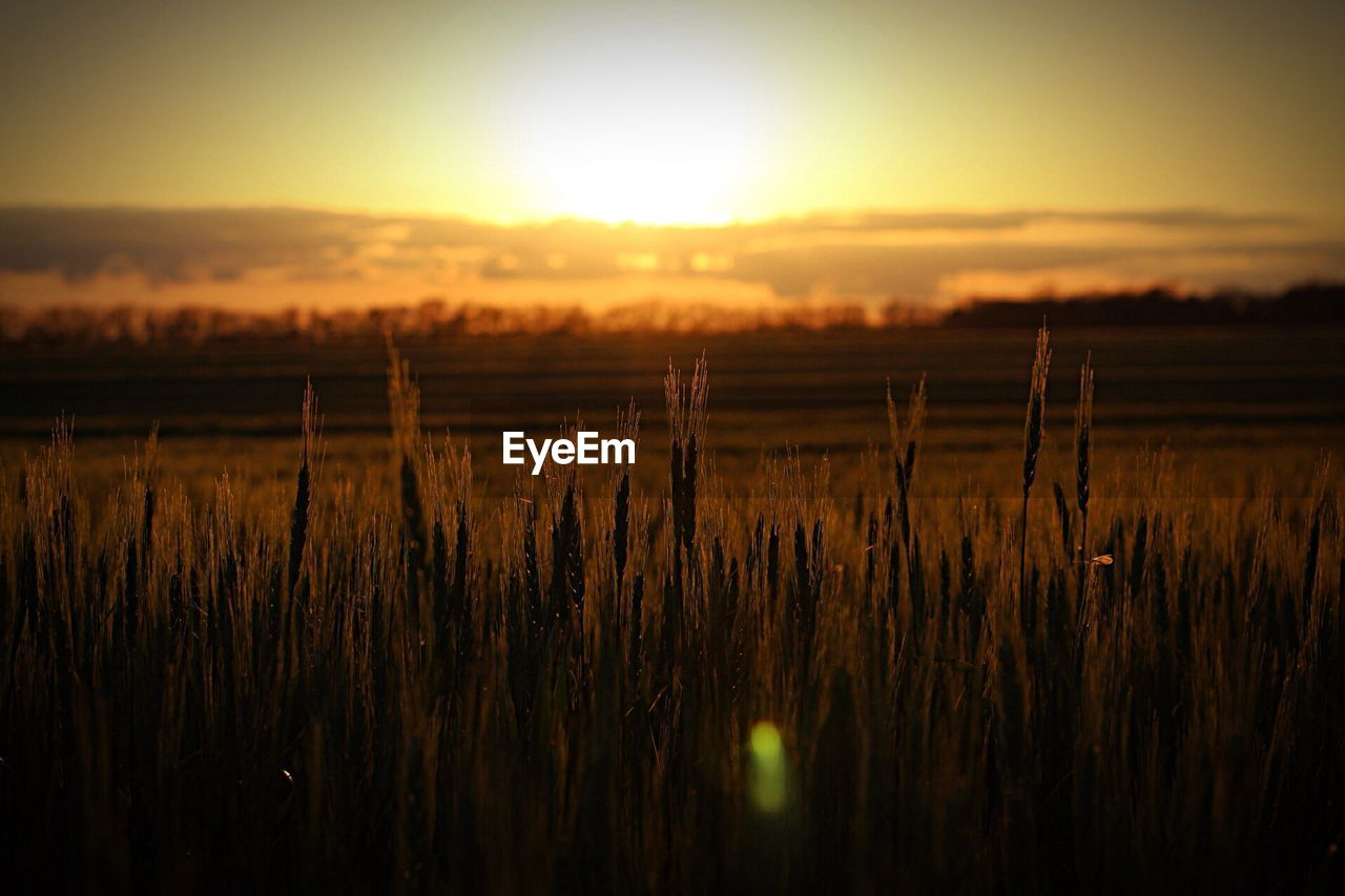 VIEW OF WHEAT FIELD AGAINST SKY DURING SUNSET