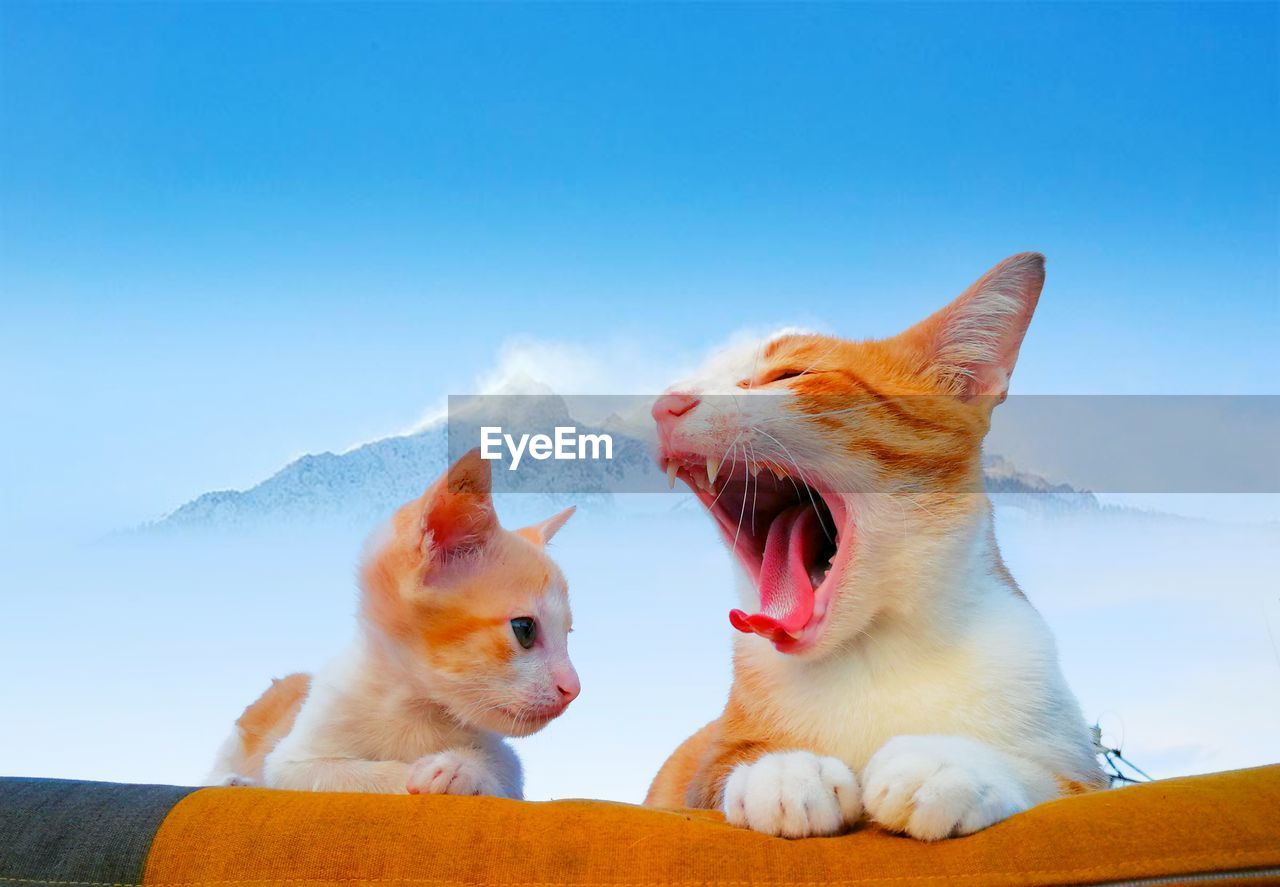 pets, domestic, domestic animals, mammal, animal themes, animal, domestic cat, cat, feline, vertebrate, one animal, mouth open, mouth, no people, yawning, facial expression, nature, day, whisker