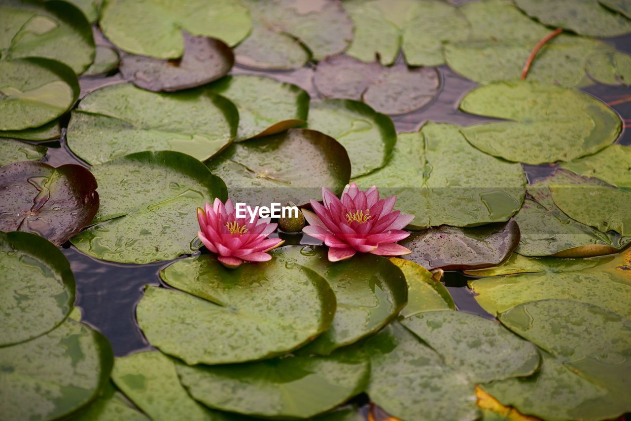 flower, water lily, leaf, plant part, plant, pond, water, floating, beauty in nature, floating on water, flowering plant, lily, growth, lotus water lily, freshness, green color, nature, fragility, pink color, no people, flower head, outdoors, leaves