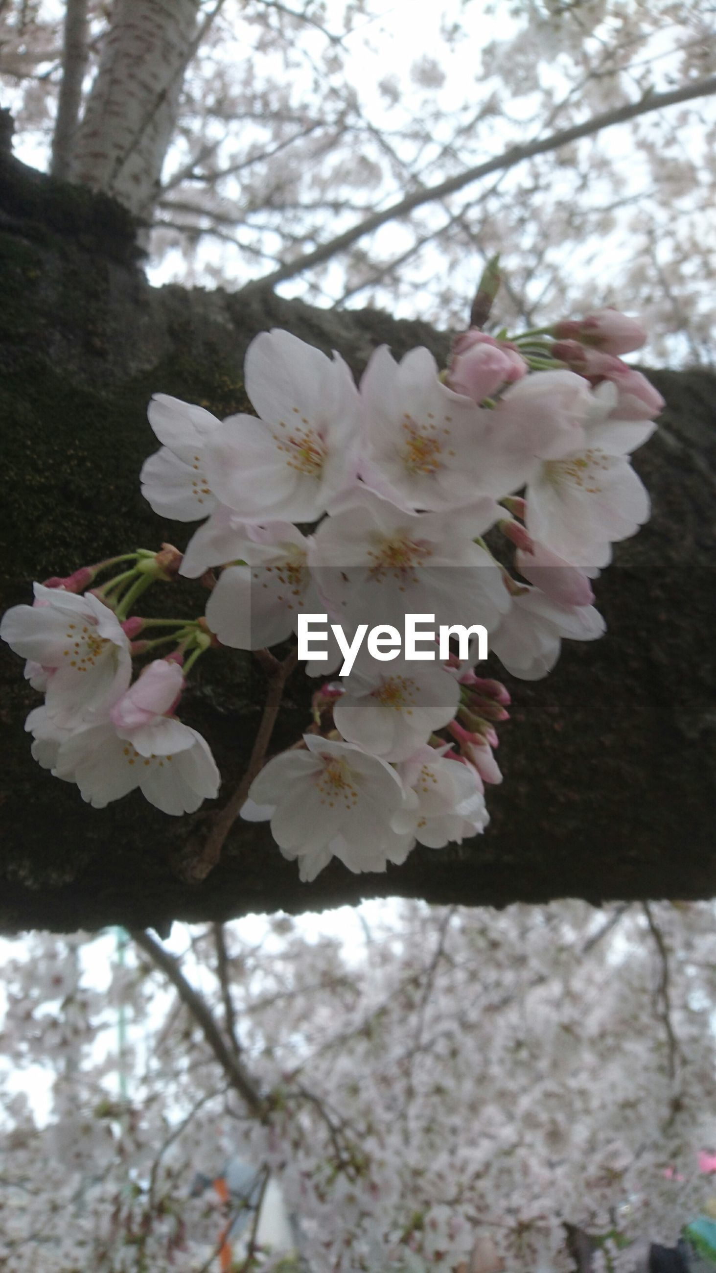 flower, fragility, petal, freshness, pink color, growth, beauty in nature, flower head, blossom, tree, nature, blooming, in bloom, branch, cherry blossom, close-up, springtime, low angle view, pink, focus on foreground