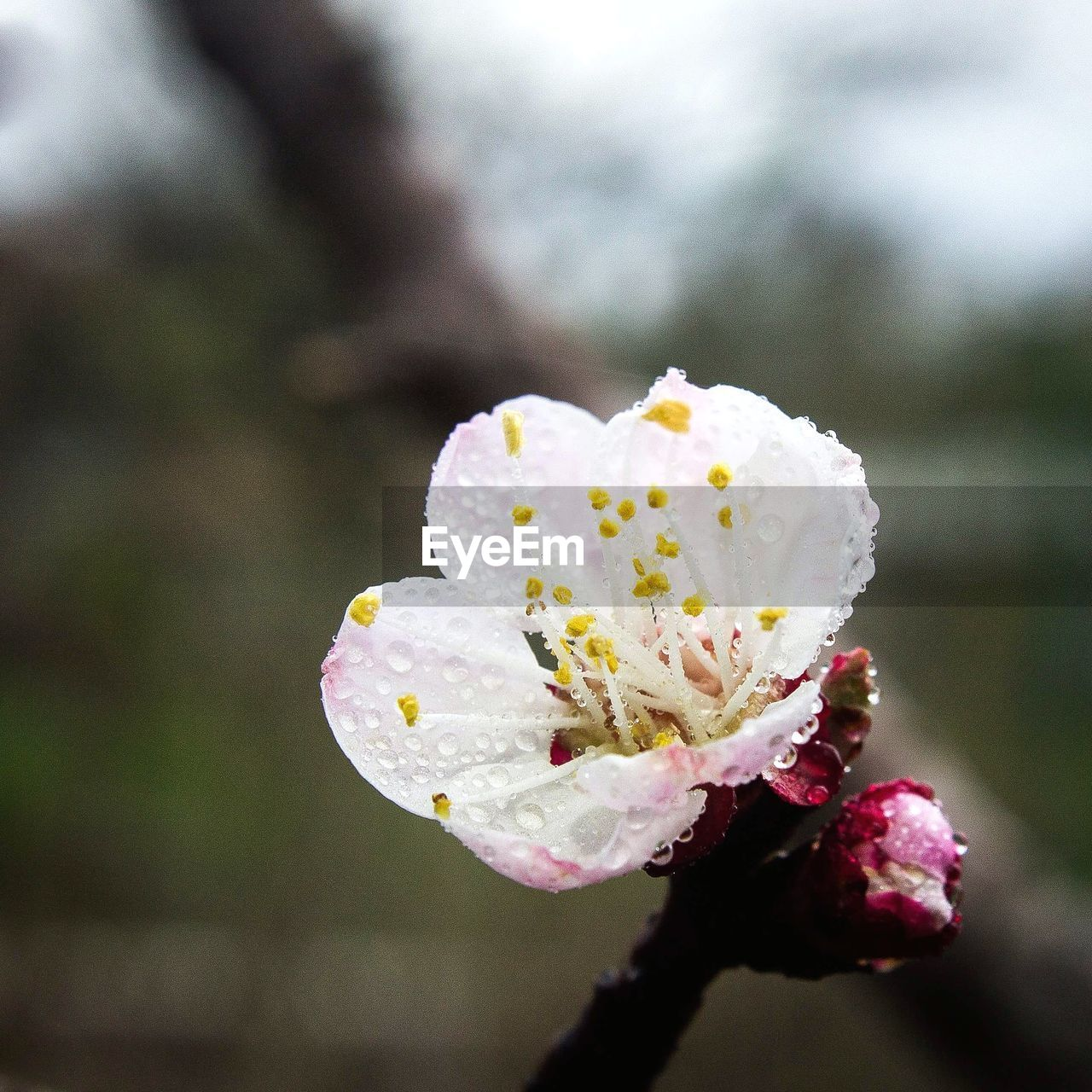 flower, flowering plant, fragility, vulnerability, growth, plant, beauty in nature, freshness, petal, flower head, close-up, inflorescence, focus on foreground, day, nature, white color, no people, outdoors, drop, pollen, springtime, raindrop, dew