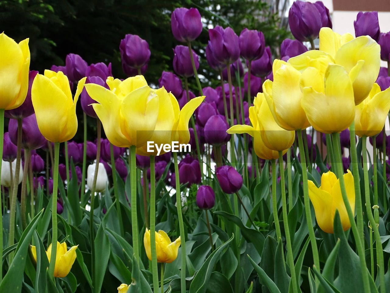 flower, yellow, petal, freshness, fragility, growth, beauty in nature, tulip, nature, vibrant color, purple, day, flower head, multi colored, plant, springtime, blossom, outdoors, no people, blooming, close-up, crocus