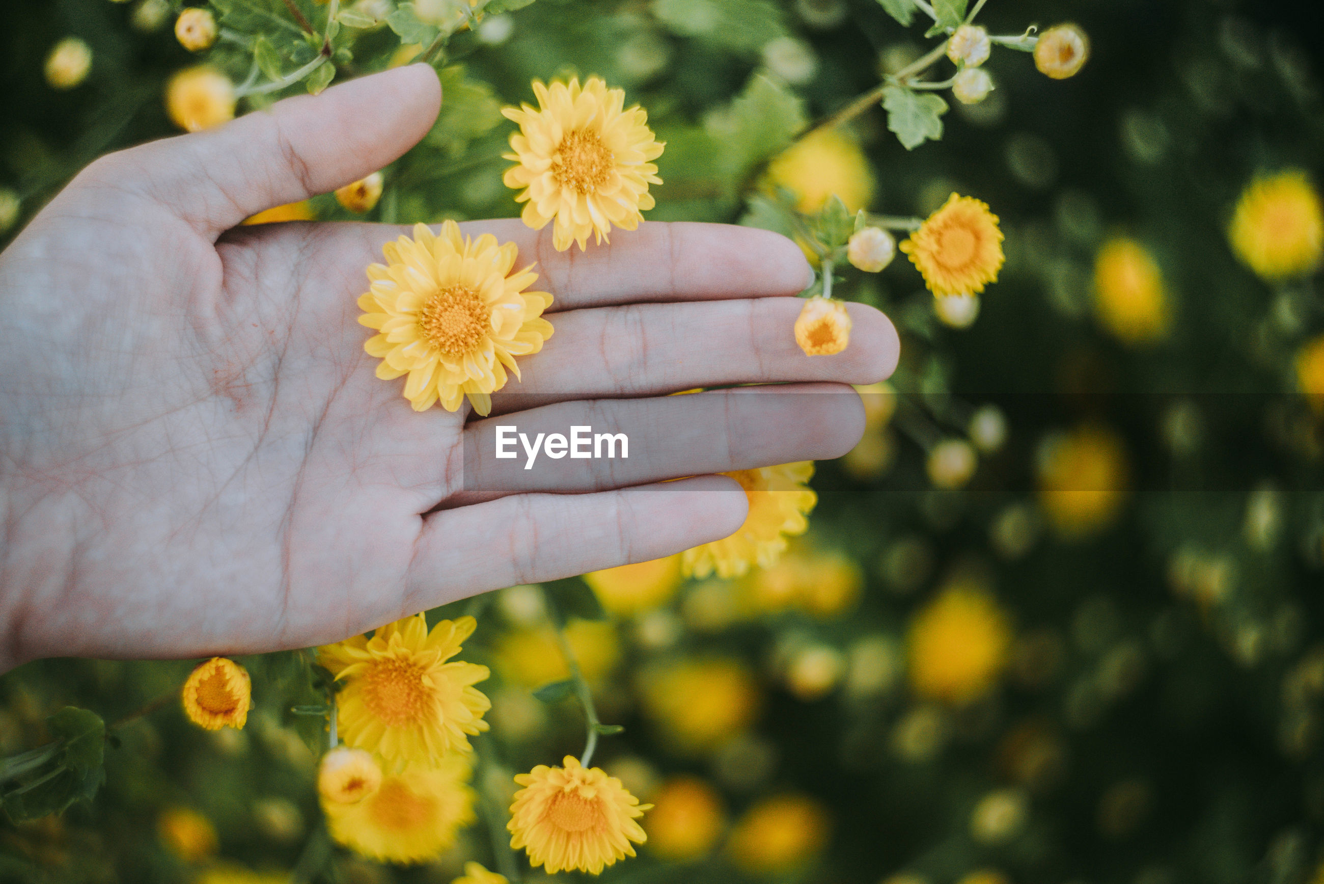 Close-up of human hand holding yellow flower growing on plant