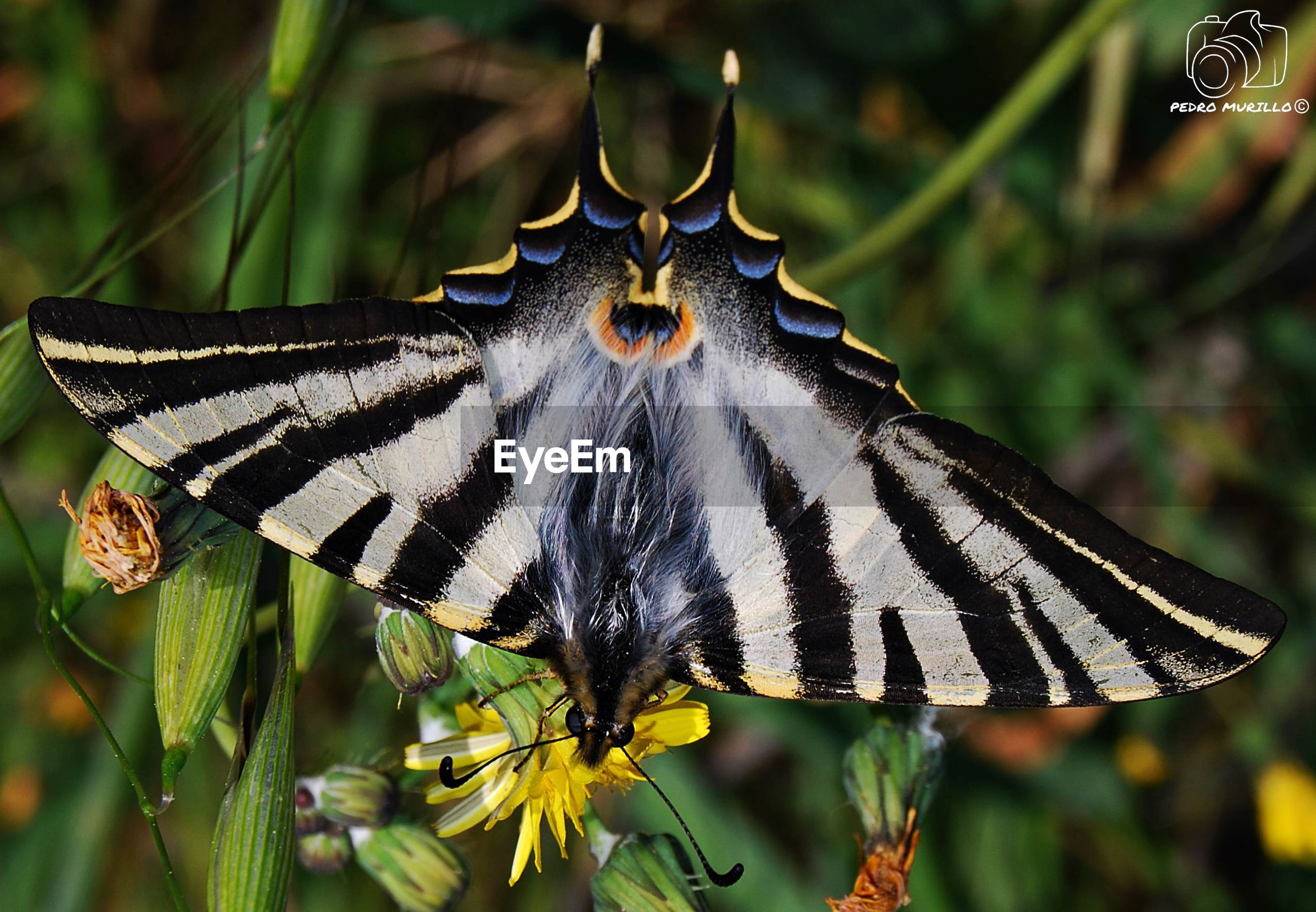one animal, animal themes, animals in the wild, butterfly - insect, insect, animal wildlife, close-up, nature, no people, focus on foreground, animal markings, day, outdoors, butterfly, plant, beauty in nature, flower, fragility, perching, spread wings, flower head