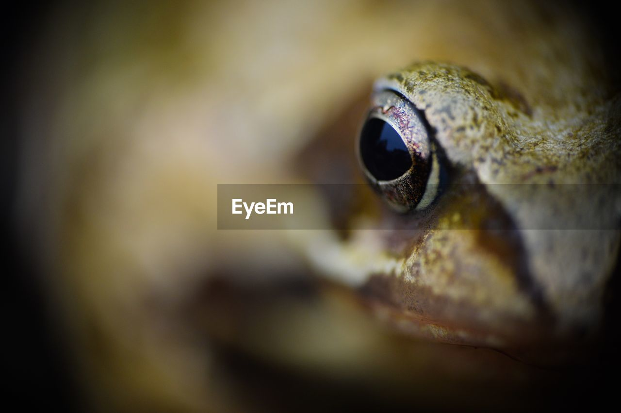Extreme Close-Up Of Frog