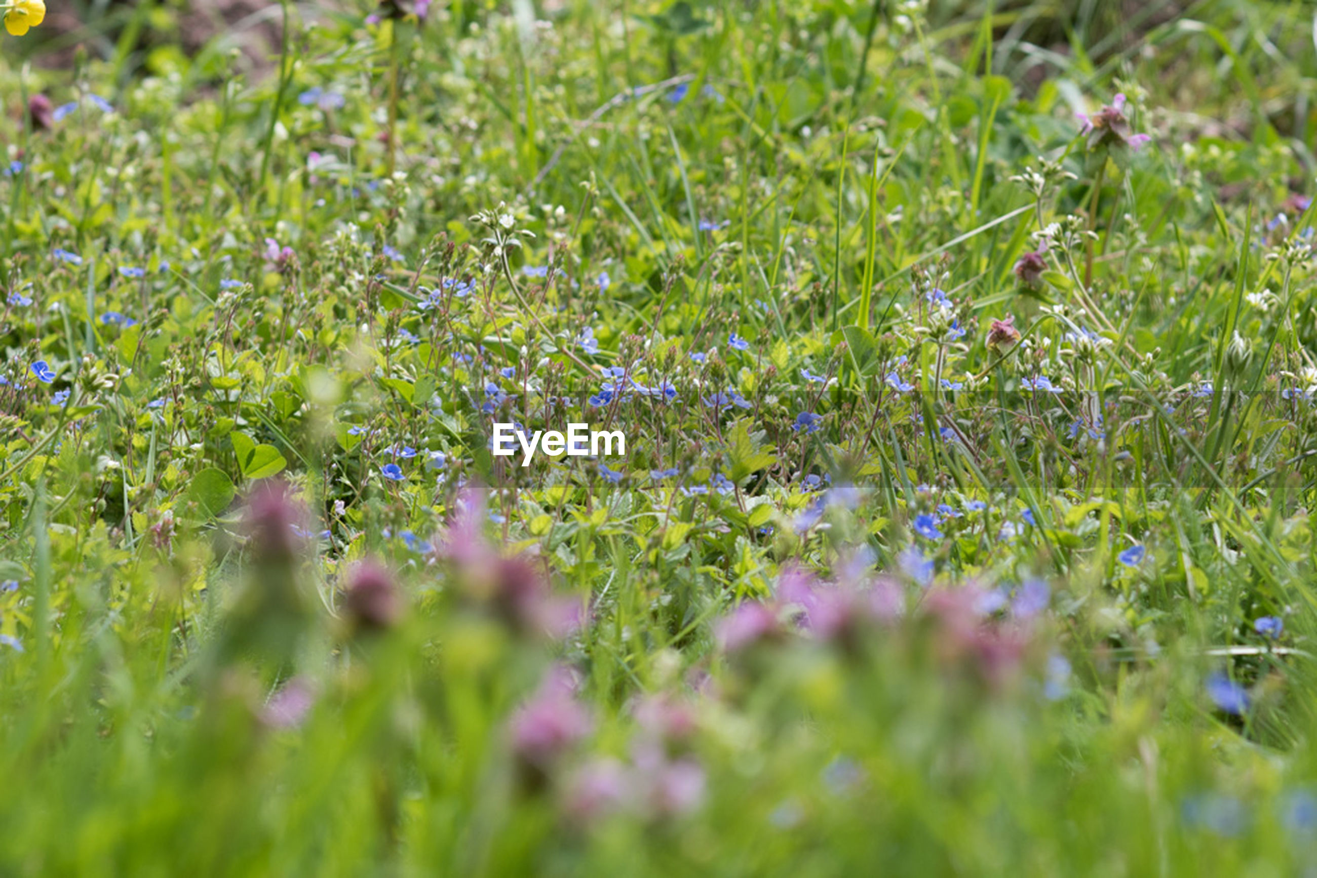 selective focus, growth, nature, plant, green color, grass, field, flower, no people, meadow, beauty in nature, outdoors, day, freshness, fragility, close-up