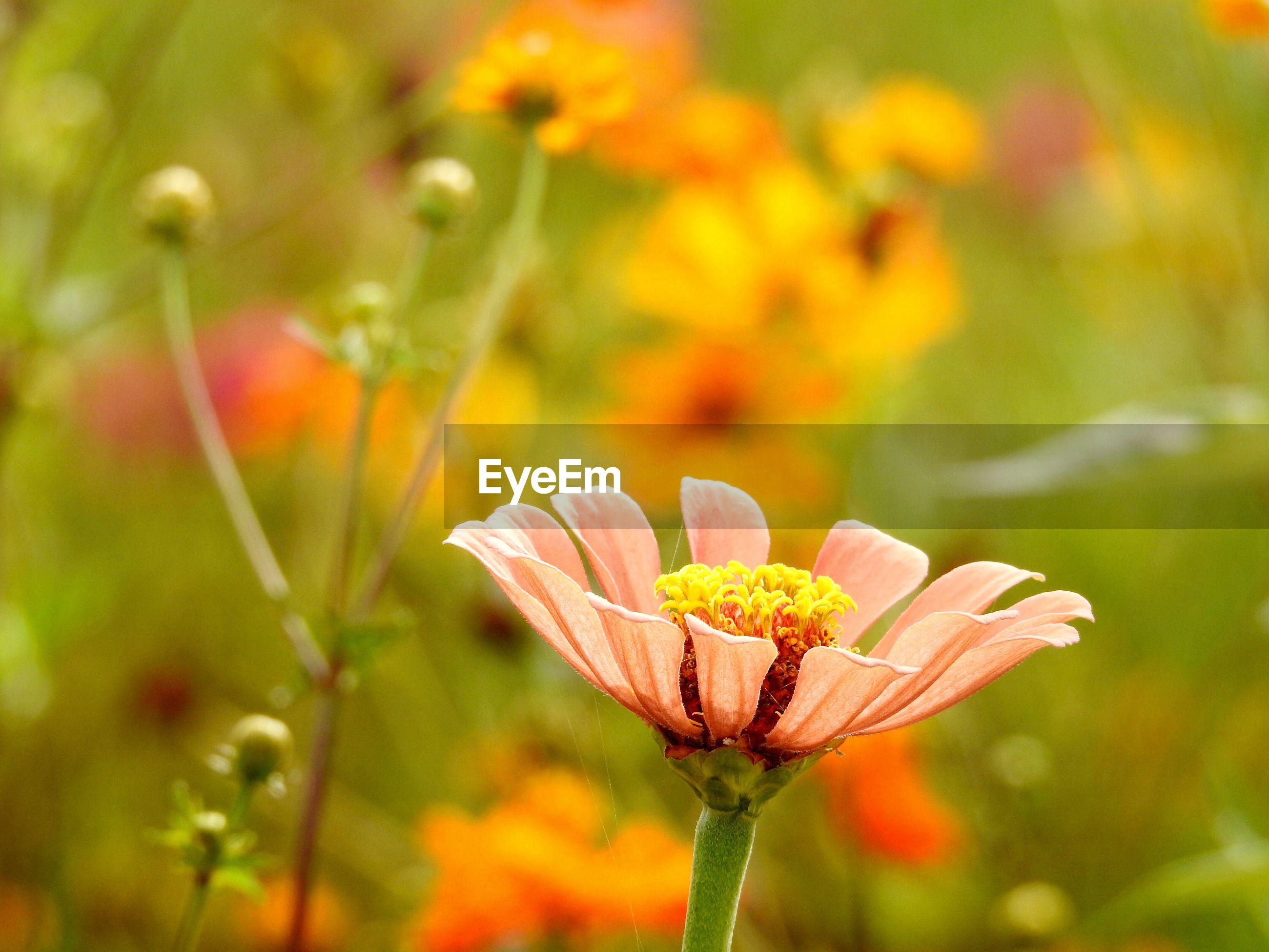Zinnia blooming in garden