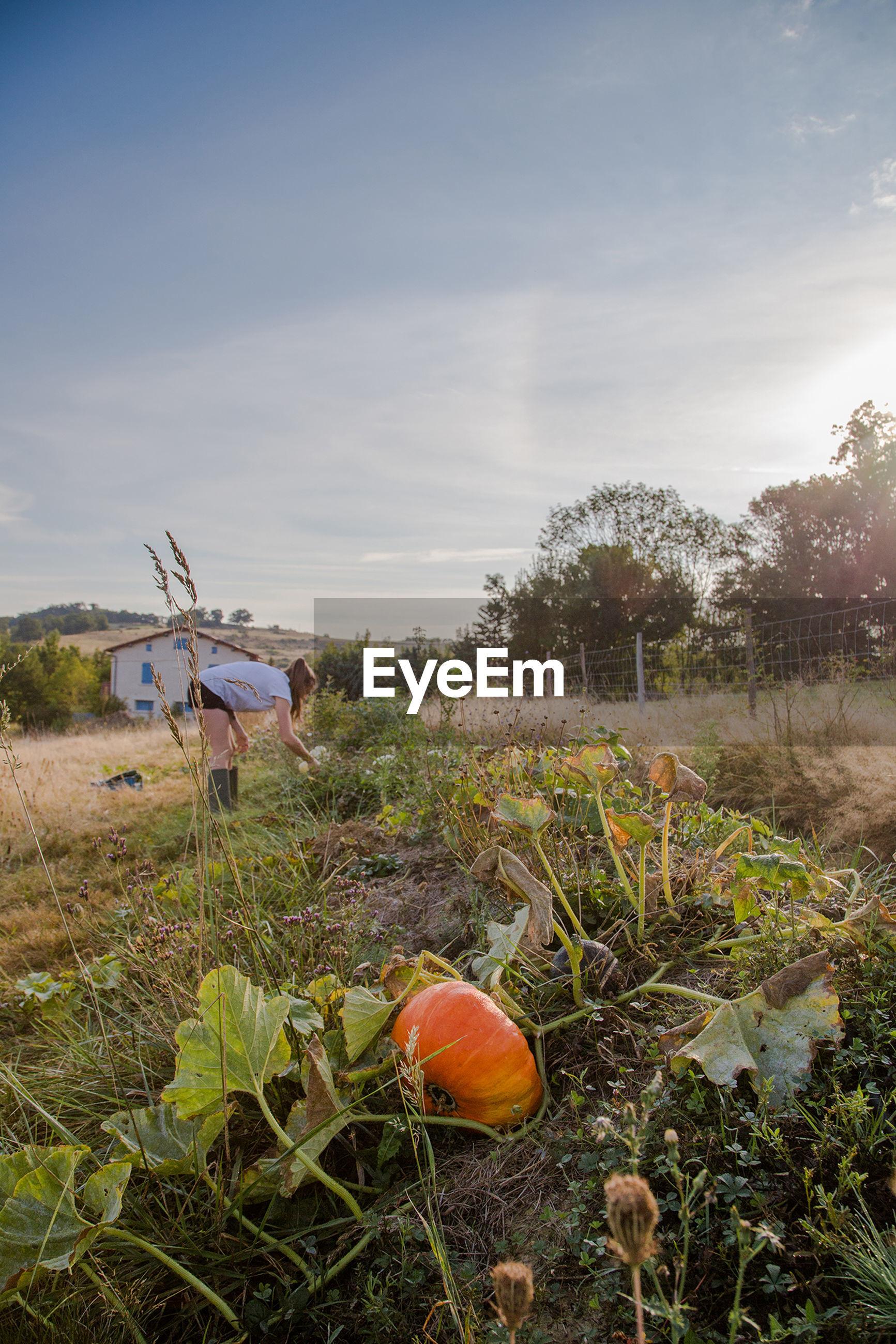 VIEW OF PUMPKINS IN FIELD