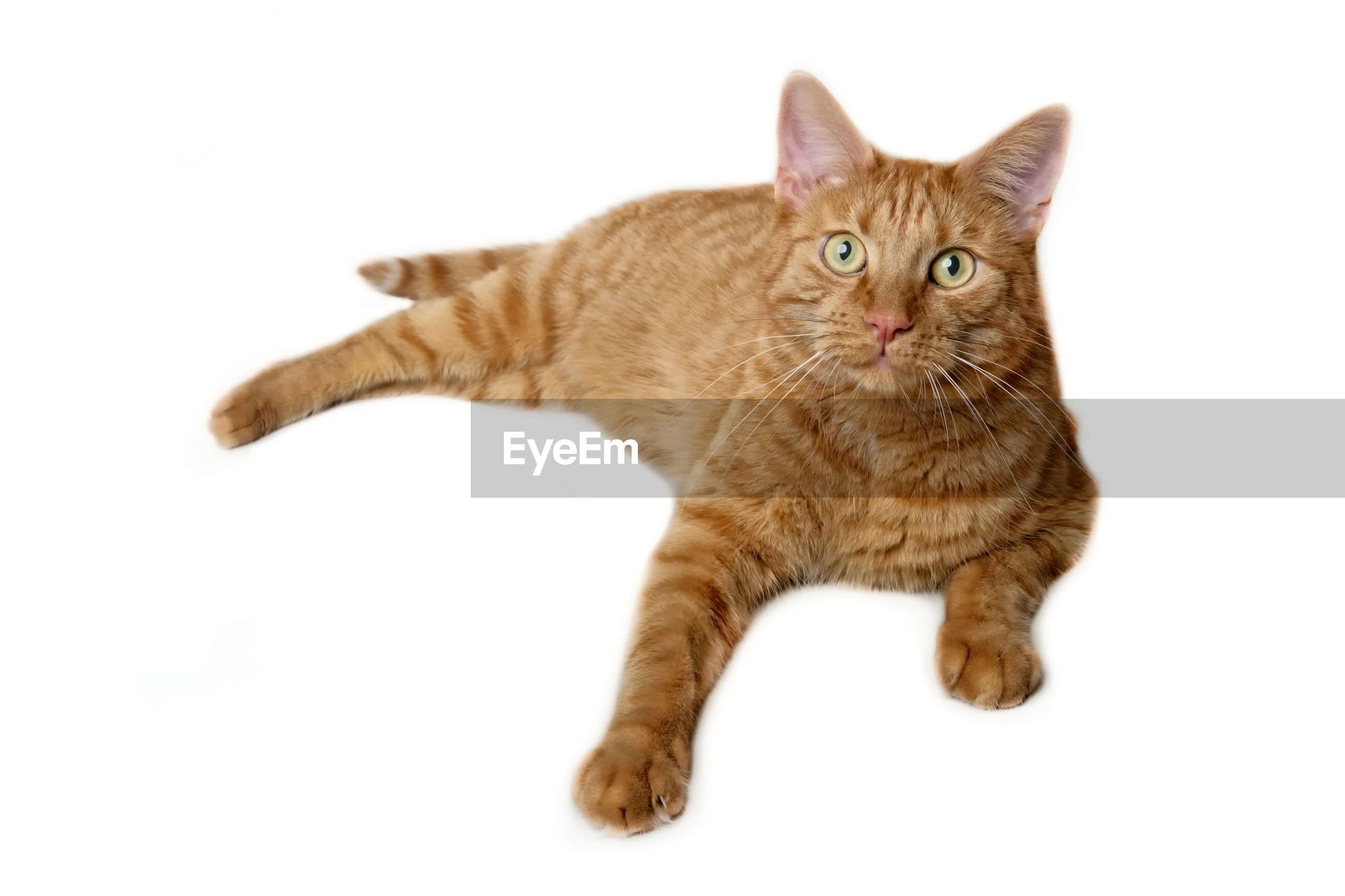 Portrait of ginger cat over white background