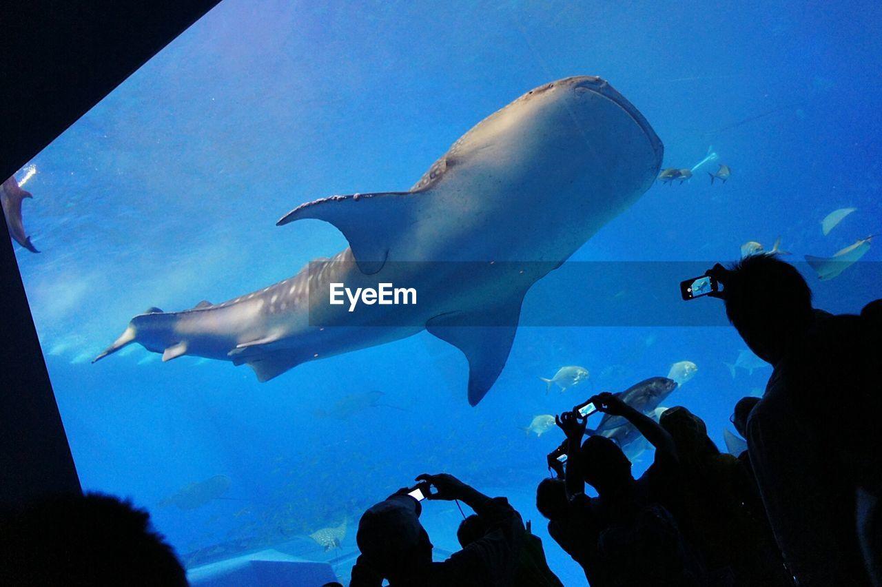 Silhouette people photographing whale shark in okinawa churaumi aquarium