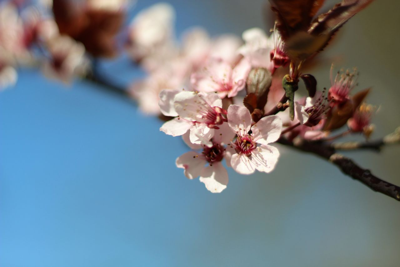 flower, flowering plant, plant, beauty in nature, fragility, freshness, vulnerability, growth, petal, close-up, pink color, tree, springtime, nature, branch, selective focus, blossom, focus on foreground, flower head, day, cherry blossom, no people, outdoors, cherry tree, pollen, plum blossom