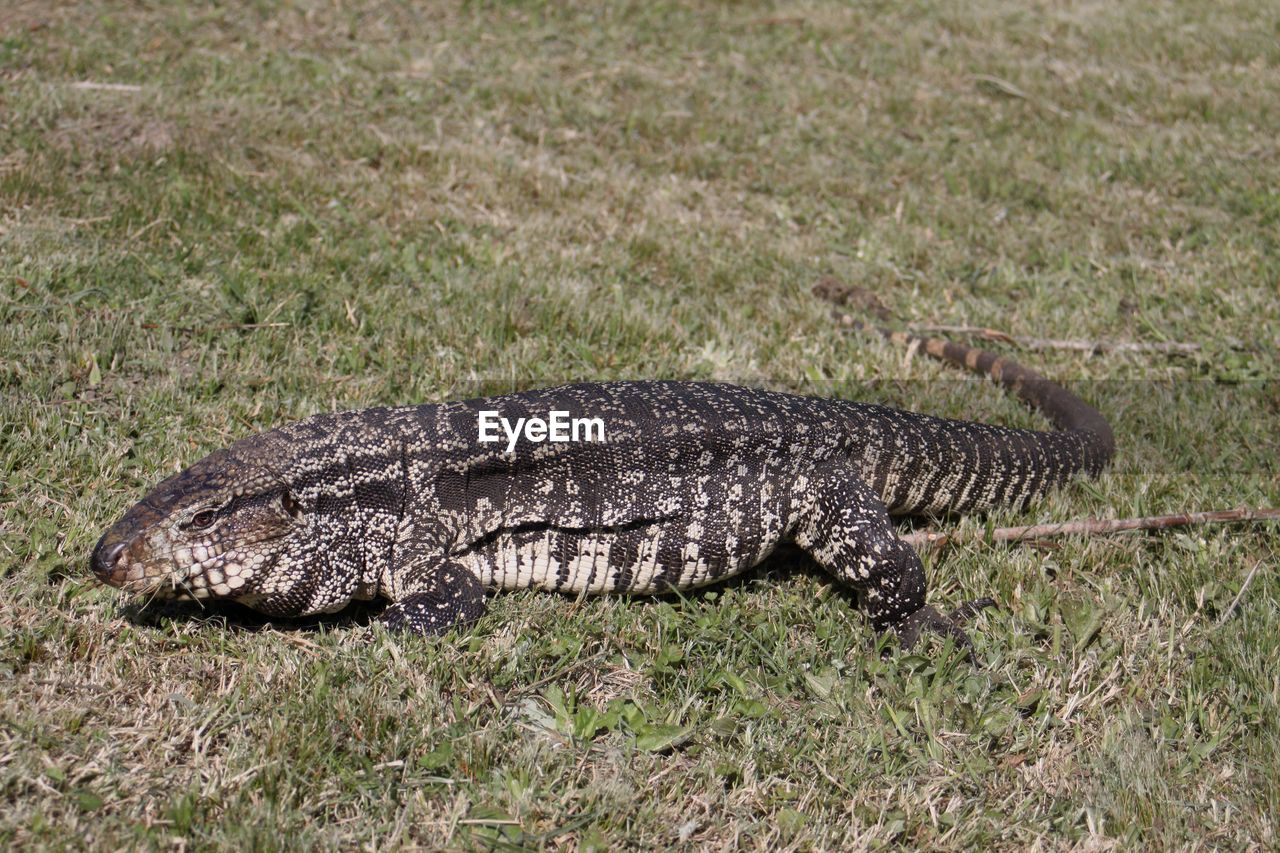 animal, animal themes, animal wildlife, one animal, animals in the wild, grass, vertebrate, nature, crocodile, reptile, no people, full length, communication, sign, day, warning sign, plant, environment, underwater, outdoors, ominous, swamp