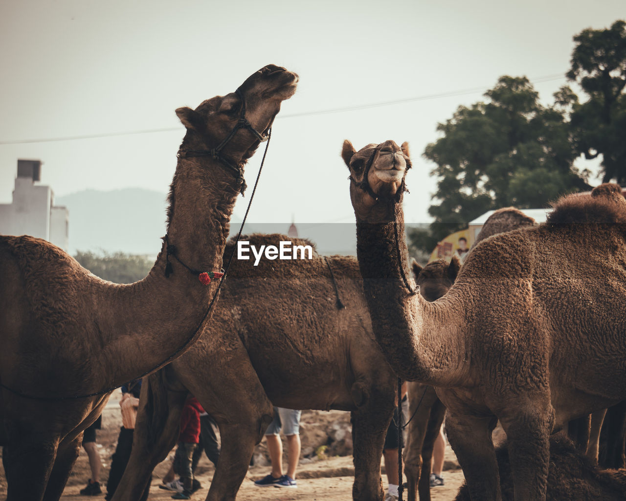 Camels in a field