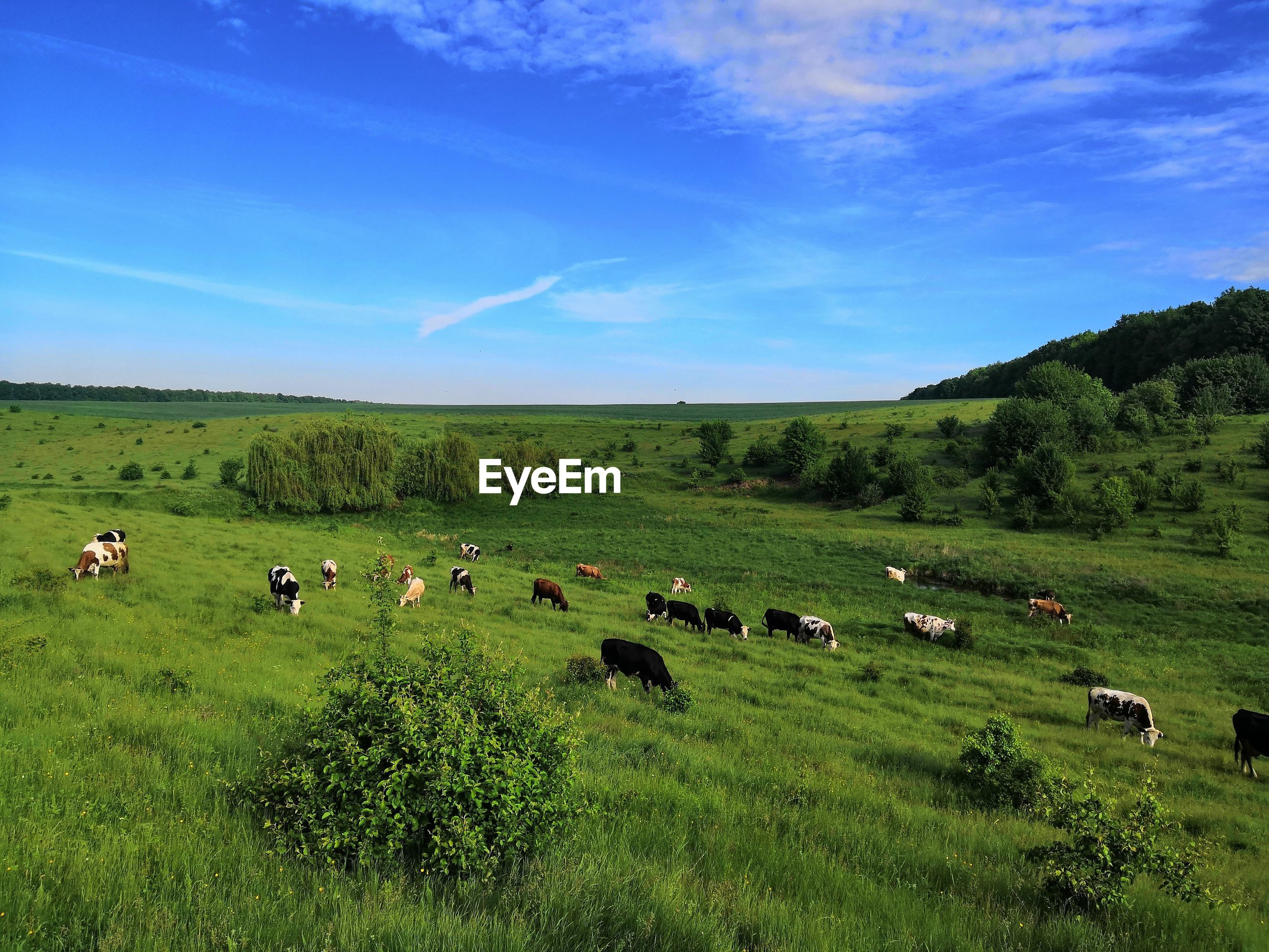 Flock of cows on grassy field against sky