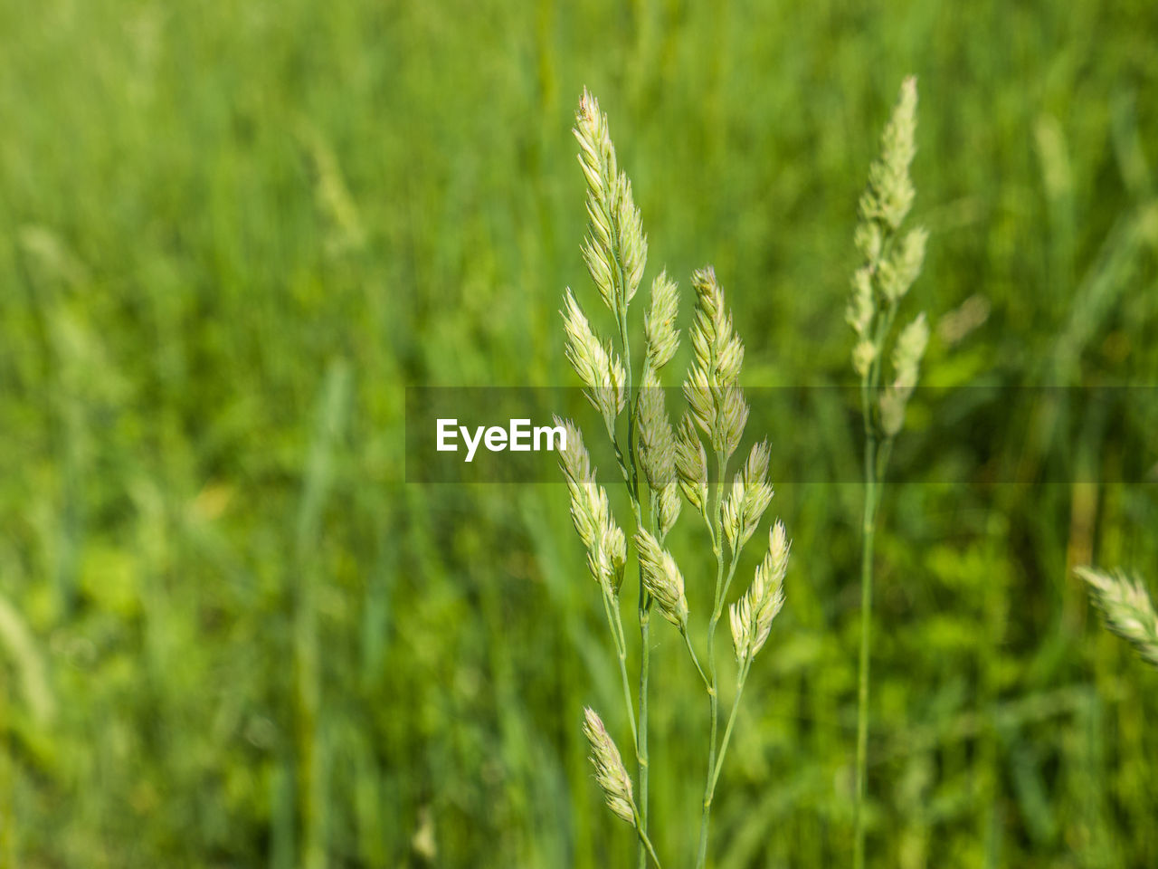 plant, growth, green color, nature, close-up, agriculture, beauty in nature, no people, cereal plant, day, field, crop, land, focus on foreground, farm, landscape, rural scene, outdoors, tranquility, wheat, stalk, plantation