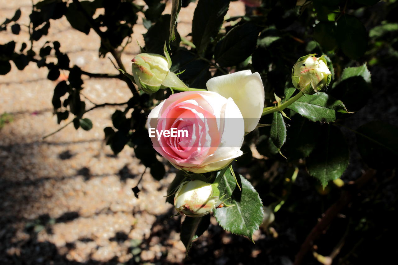 Close-up of fresh white rose amidst buds in park