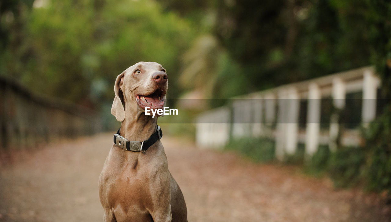 dog, canine, mammal, domestic, pets, animal themes, one animal, animal, domestic animals, vertebrate, focus on foreground, pet collar, collar, looking, no people, day, looking away, weimaraner, selective focus, standing, mouth open, animal head