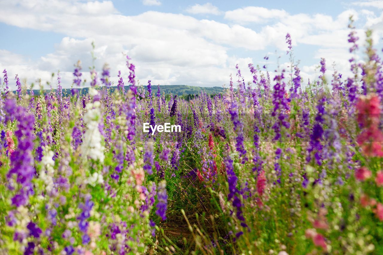 flower, flowering plant, plant, growth, beauty in nature, vulnerability, cloud - sky, freshness, fragility, purple, nature, land, sky, field, day, selective focus, no people, lavender, close-up, lavender colored, outdoors, flowerbed