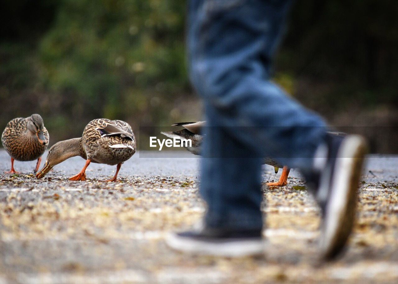 bird, vertebrate, day, group of animals, selective focus, animal wildlife, animals in the wild, low section, human body part, body part, nature, outdoors, real people, human leg, one person, land, food