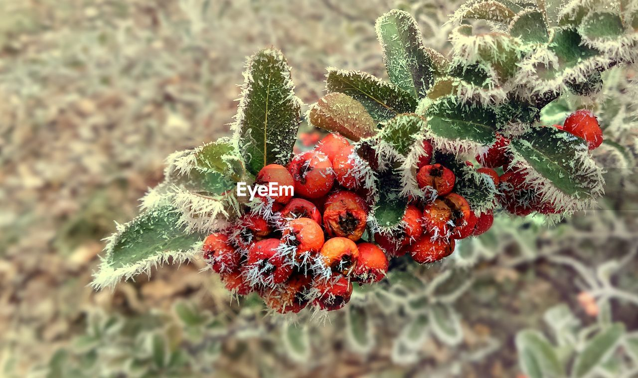 red, growth, nature, plant, green color, day, focus on foreground, no people, outdoors, close-up, fruit, food and drink, beauty in nature, freshness, tree