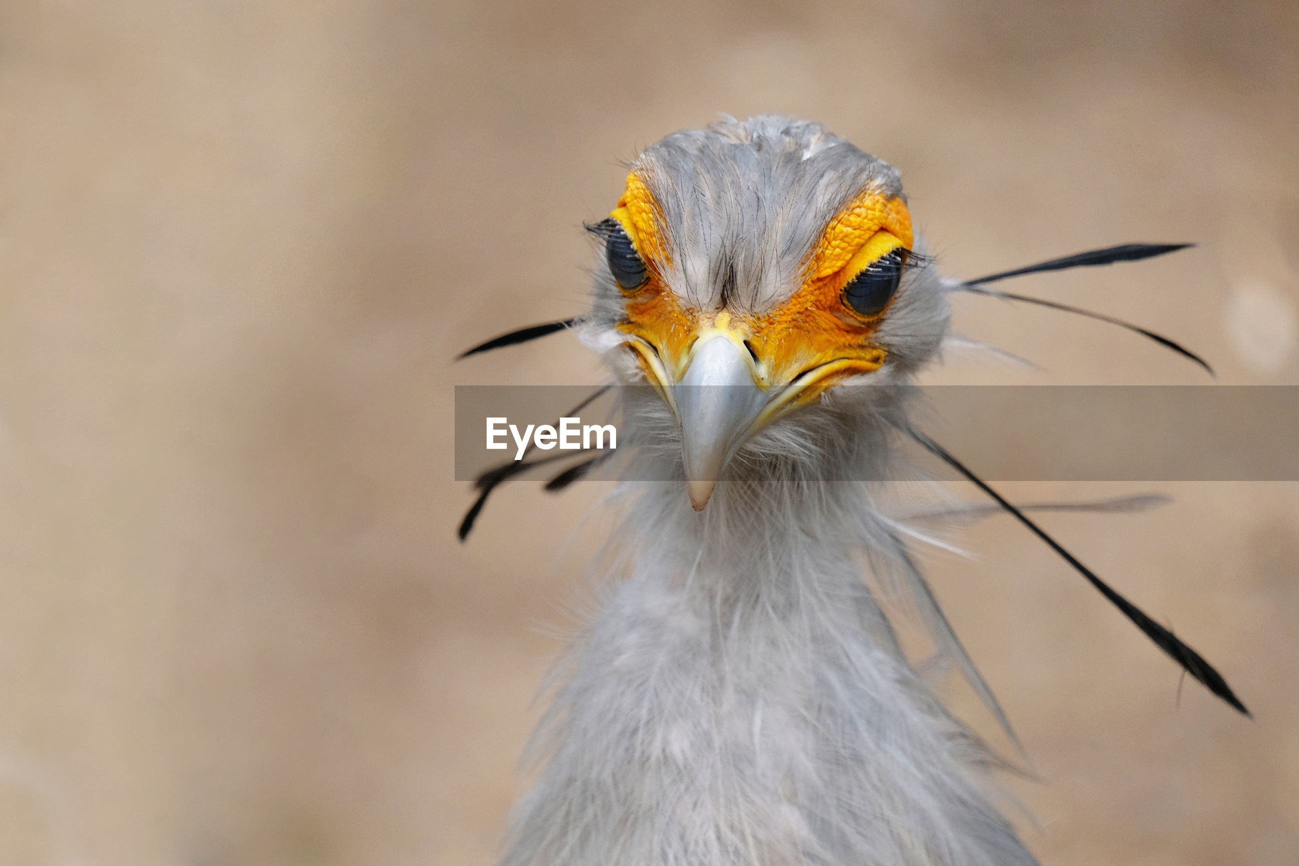 Close-up of secretary bird