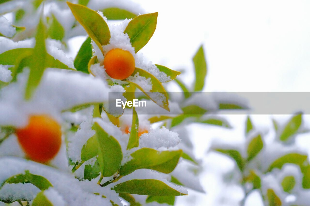 Close-Up Of Snow Covered Berry Plant Against Clear Sky