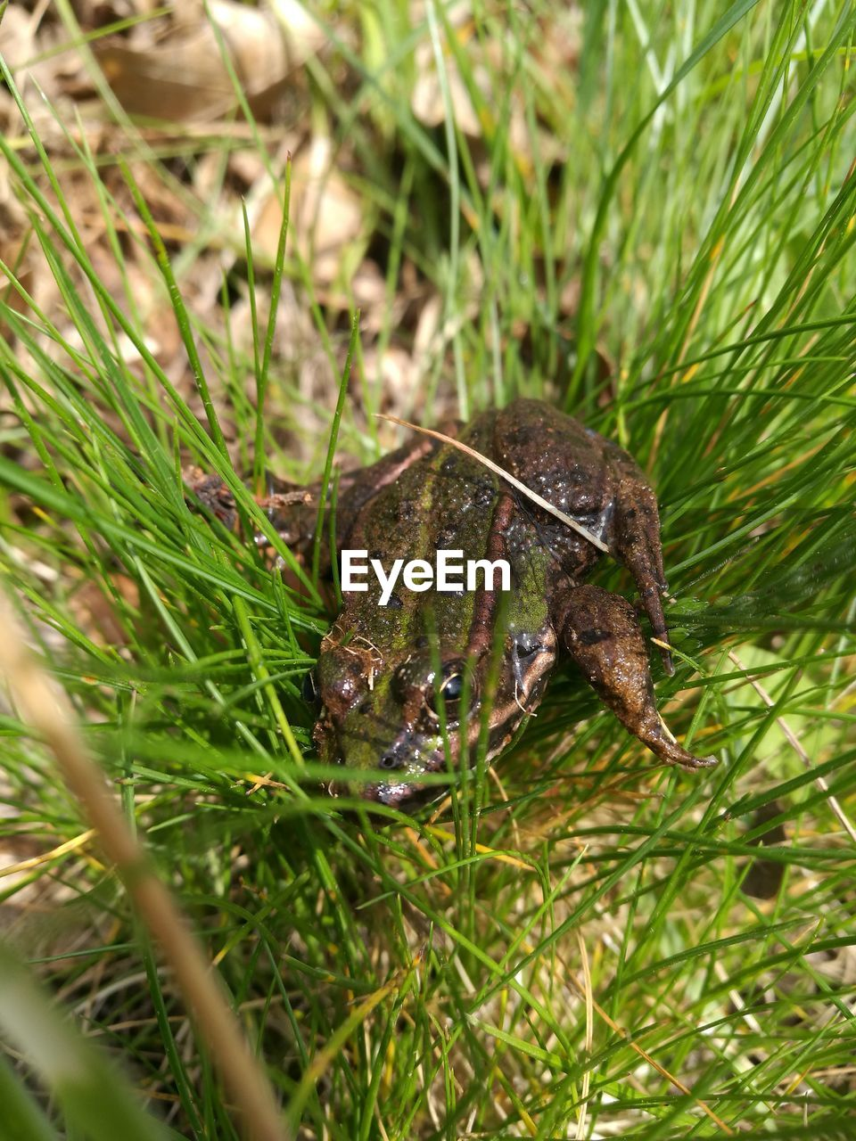 animal, animal themes, one animal, animal wildlife, plant, animals in the wild, grass, green color, nature, vertebrate, day, no people, selective focus, growth, close-up, amphibian, outdoors, frog, land, high angle view, blade of grass