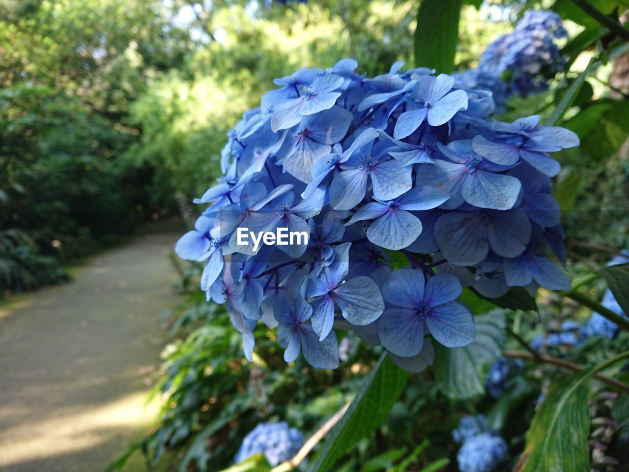 flower, flowering plant, plant, vulnerability, fragility, beauty in nature, purple, freshness, petal, inflorescence, close-up, blue, flower head, growth, hydrangea, nature, focus on foreground, day, no people, selective focus, outdoors, springtime, bunch of flowers, lilac