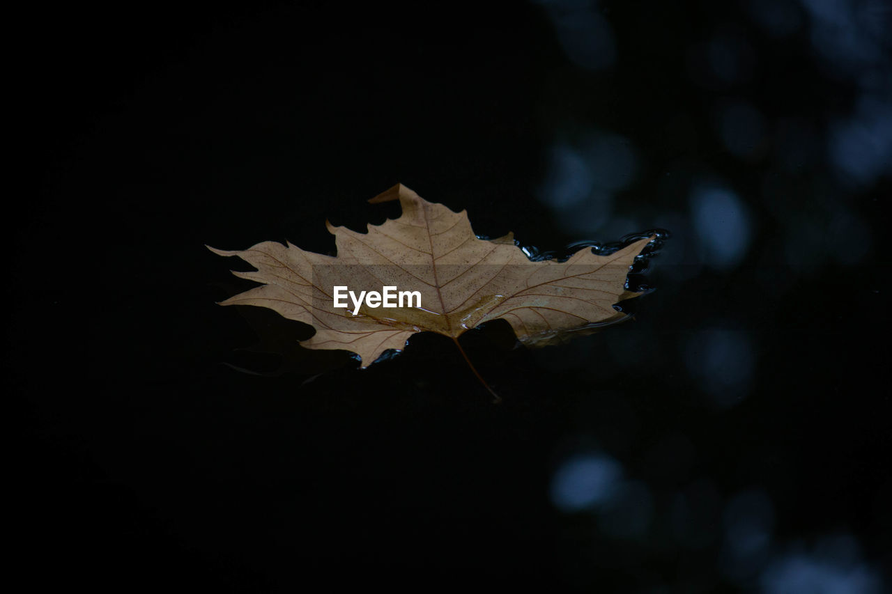 plant part, leaf, autumn, maple leaf, close-up, nature, change, no people, dry, plant, beauty in nature, leaf vein, day, outdoors, focus on foreground, tree, vulnerability, selective focus, fragility, maple tree, leaves, fall, natural condition