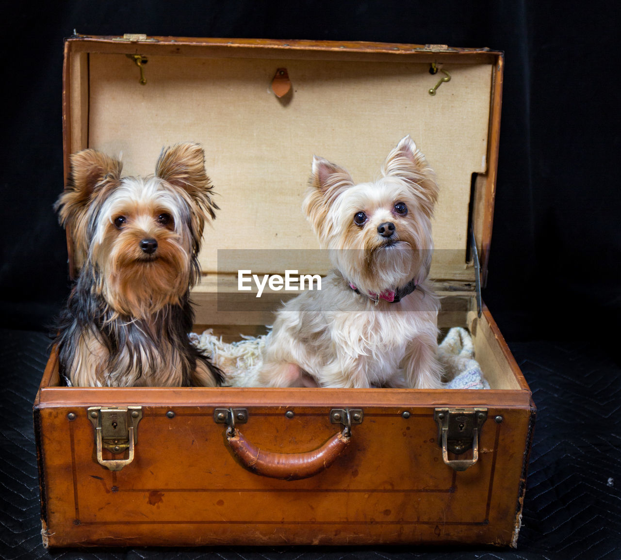 Yorkshire Terriers In Chest