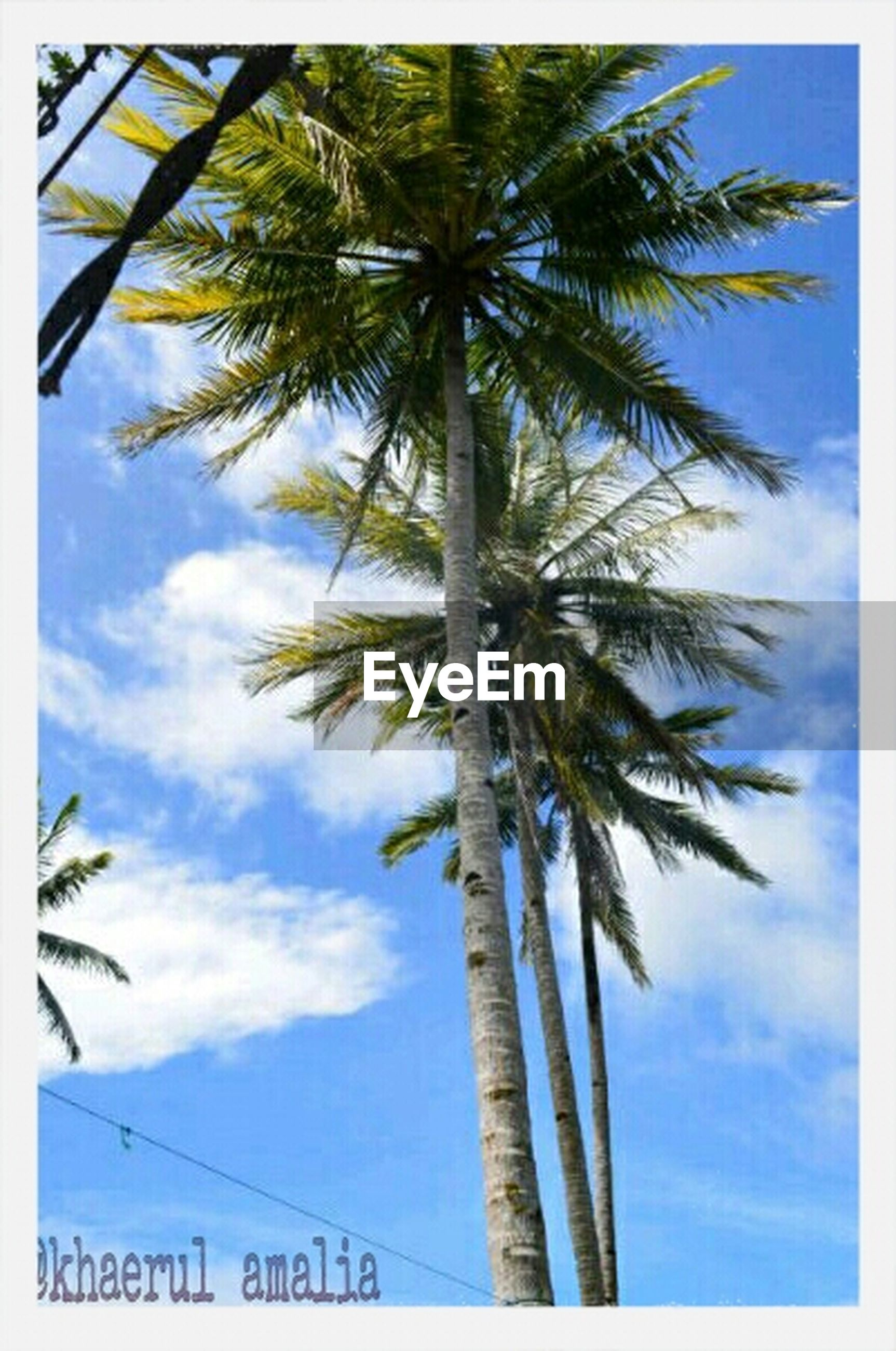 transfer print, tree, low angle view, palm tree, sky, auto post production filter, tree trunk, growth, nature, blue, tranquility, cloud - sky, cloud, branch, tall - high, beauty in nature, silhouette, day, sunlight, outdoors