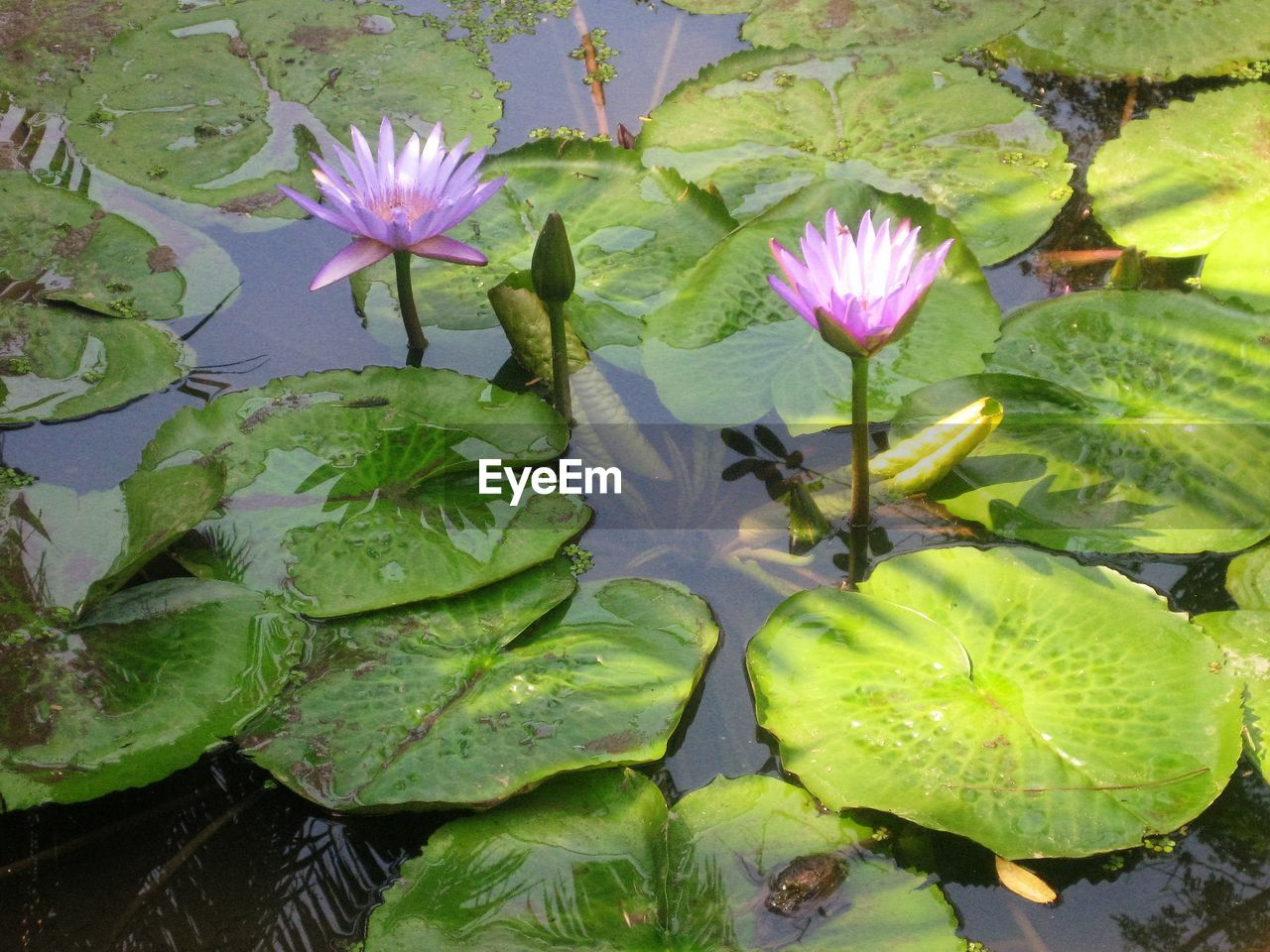 leaf, flower, water lily, pond, growth, lotus water lily, nature, water, freshness, floating on water, beauty in nature, petal, plant, no people, fragility, lily pad, green color, outdoors, day, flower head, close-up, lotus