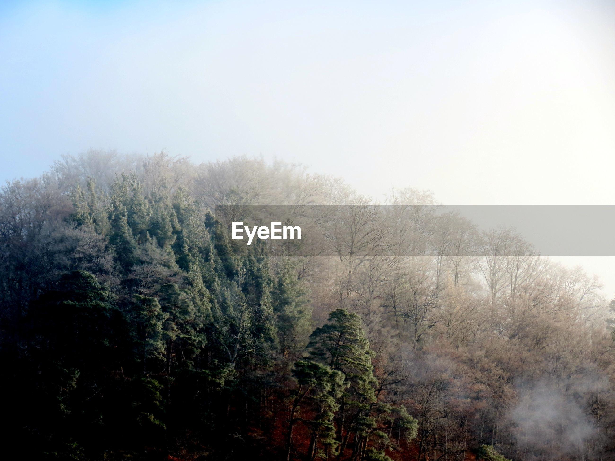 TREES AGAINST CLEAR SKY