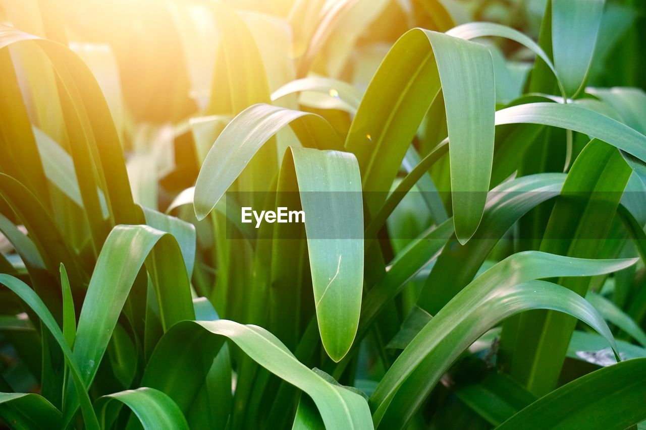 growth, plant, plant part, beauty in nature, green color, leaf, nature, close-up, no people, sunlight, day, freshness, land, field, vulnerability, fragility, focus on foreground, flower, outdoors, yellow, blade of grass