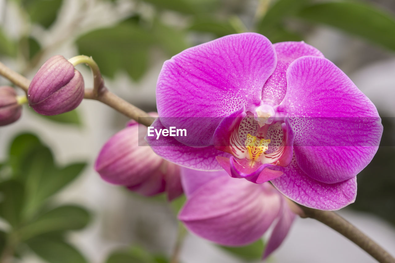 flowering plant, flower, plant, petal, vulnerability, fragility, beauty in nature, freshness, close-up, growth, flower head, inflorescence, pink color, focus on foreground, nature, no people, purple, pollen, day, orchid