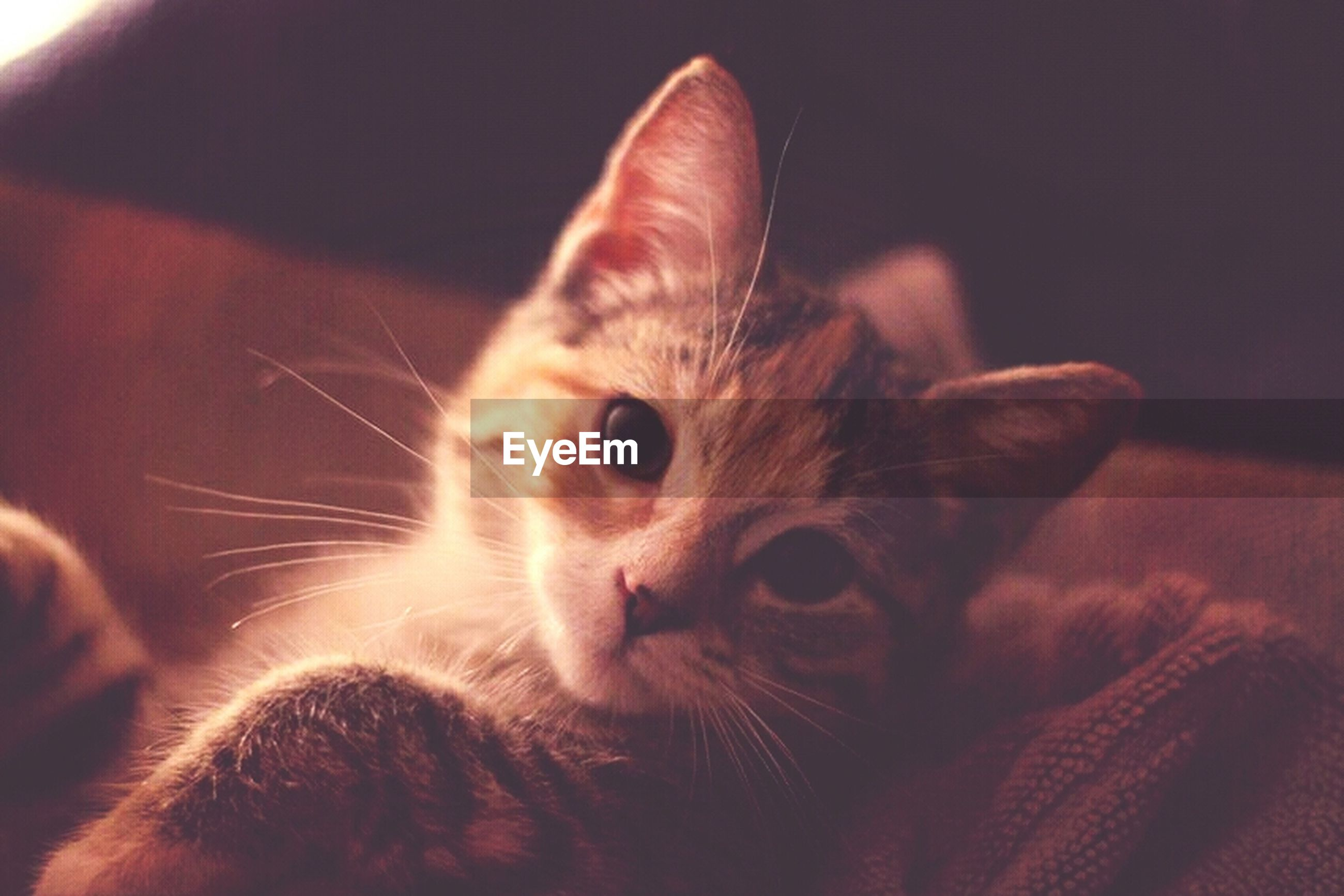 pets, domestic cat, animal themes, one animal, domestic animals, cat, mammal, feline, indoors, whisker, portrait, close-up, looking at camera, animal head, relaxation, animal eye, alertness, home interior, staring