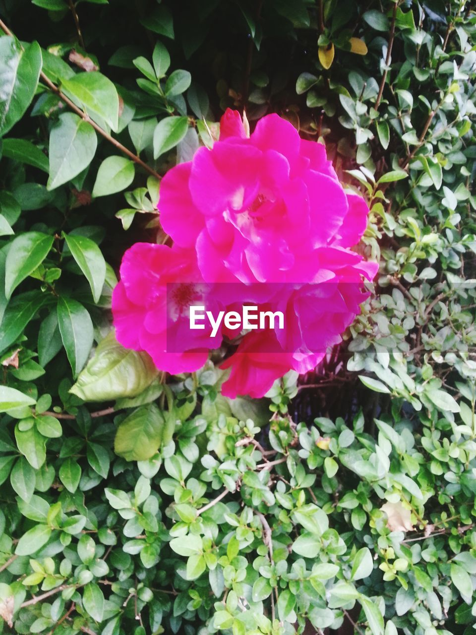 flower, petal, plant, growth, nature, beauty in nature, leaf, fragility, pink color, flower head, no people, blooming, outdoors, freshness, wild rose, day, close-up