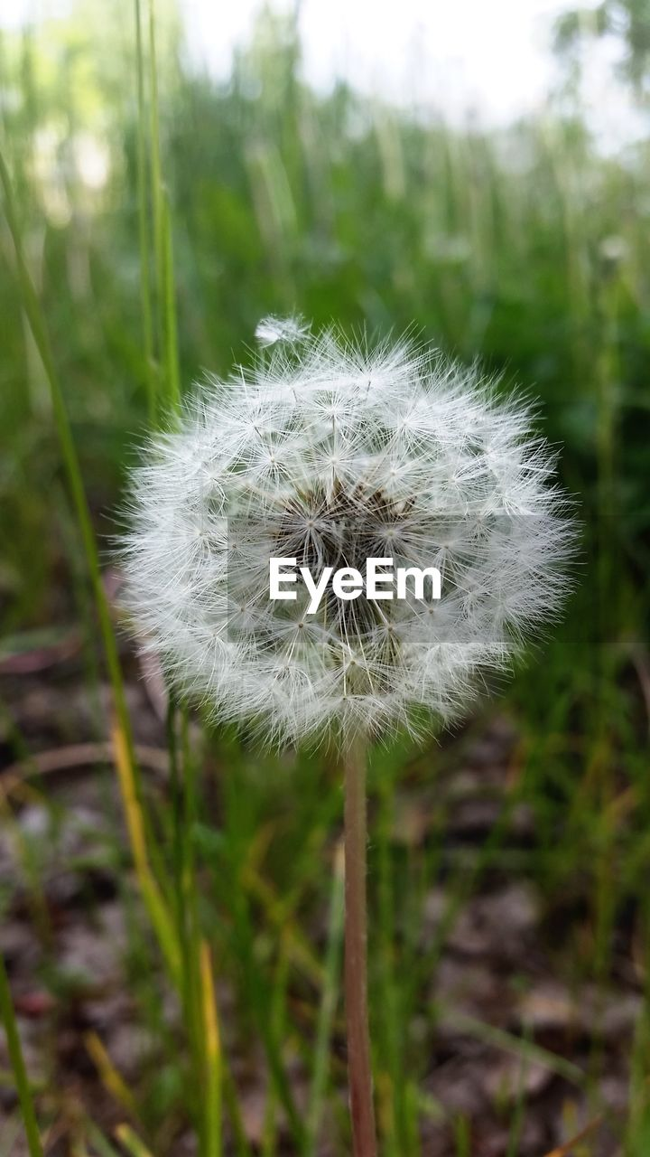 fragility, flower, dandelion, growth, nature, beauty in nature, softness, plant, flower head, focus on foreground, close-up, freshness, wildflower, no people, day, uncultivated, outdoors