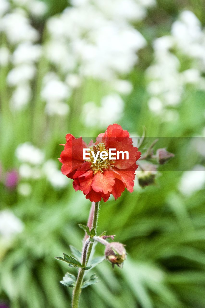 flowering plant, flower, plant, fragility, vulnerability, beauty in nature, freshness, petal, red, close-up, flower head, growth, inflorescence, focus on foreground, nature, day, no people, selective focus, plant stem, outdoors, pollen