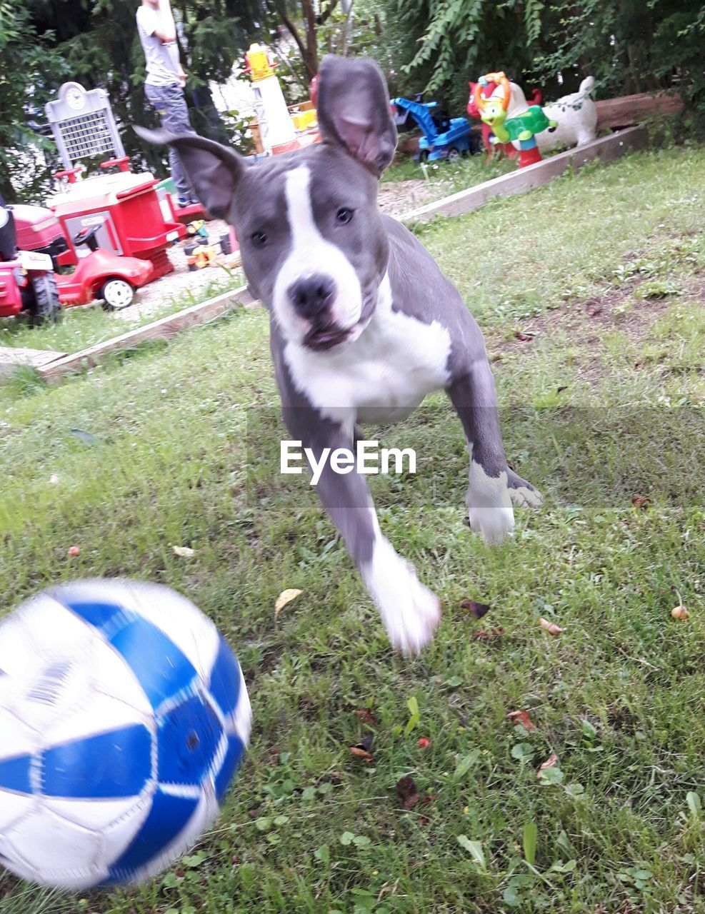 grass, domestic animals, dog, mammal, animal themes, pets, field, day, outdoors, ball, one animal, motion, no people, nature