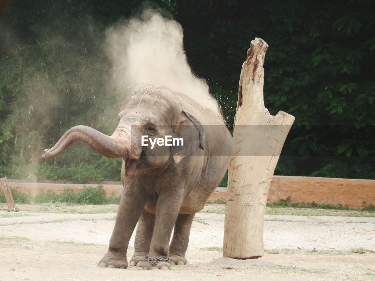 Baby elephant, sand bath
