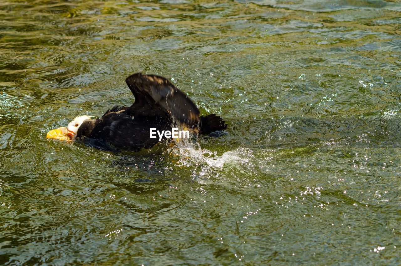 Close-up of tufted puffin swimming in pond
