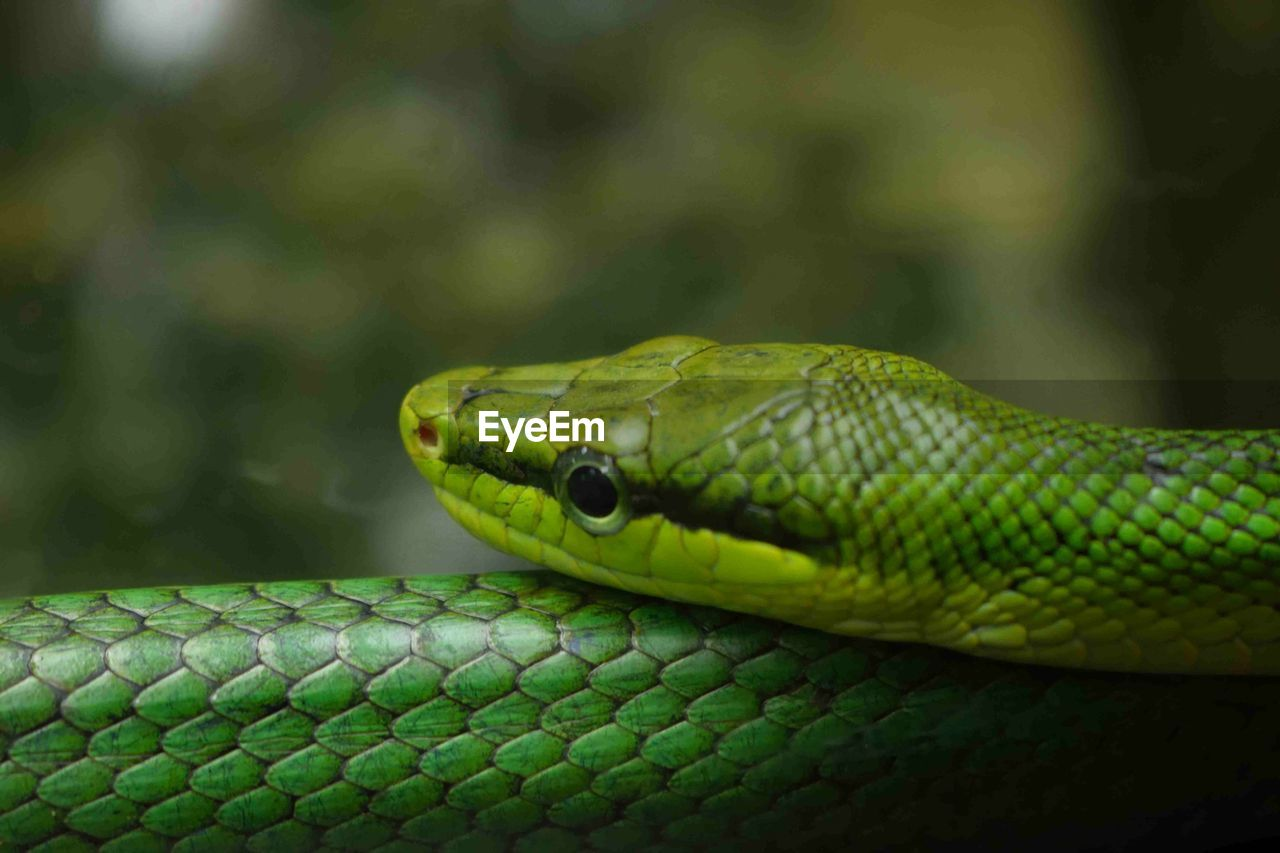 reptile, snake, one animal, animal themes, animal, vertebrate, animal wildlife, animals in the wild, close-up, green color, animal body part, focus on foreground, no people, animal head, animal scale, day, nature, warning sign, communication, sign, outdoors, curled up, animal eye, poisonous